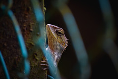Little Guilin, Singapore (WeePhotography) Tags: chameleon singapore nature animal bokeh