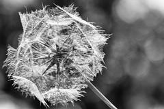 Fragile (devos.ch312) Tags: flower dandelion overblown fragile bokeh texture nature