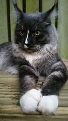 Hendrix 11 Months (16lb) (Jason & Debbie) Tags: hendrix mainecoon cat smoke malecat paws