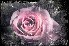 rve de rose !!... (Macecylia) Tags: rose rve fleur flower