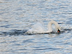 Swan (deannewildsmith) Tags: swan bird earthnaturelife
