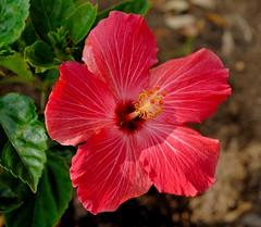 _DSC0003e ~ Hibiscus (BDC Photography) Tags: pipecreek tx usa bwfpro62mm010uvhaze1xfilter nikonafmicronikkor60mmf28dlens nikon nikond200 nikondslrcamera hibiscus flowers