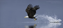 Bald Eagle Catching Fish (Matthew Schwartz) Tags: mattschwartz matthewschwartz canon canoneos7dmarkii ef500mmf4lisiiusm14xiii 700mm captured20160615 uploaded10202016 photo photography infiniteworldphotography naturephotographymasteryacademy fineart bird animal wildlife eagle haliaeetus raptor predator action epic awesome