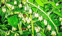 Raindrops on the Solomon Seal   IMG_1304 Gouttes de pluie sur le Solomon Seal (Nicole Nicky) Tags: solomonseal plant flower fleur green vert waterdrops raindrops gouttesdepluie nature rain pluie canon dehors outdoor