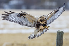 Rough-legged Hawk (Peter Stahl Photography) Tags: roughleggedhawk hunting outdoors vole snow field fall