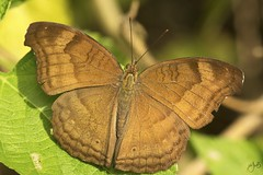 IMG_8706-2 (Jamil-Akhtar) Tags: canon6d tamron 200400 canon500d closeuplens nature macro insect butterfly islamabad pakistan chocolatepansy junoniaiphita
