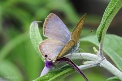 Long-tailed blue (Yorkey&Rin) Tags: 10月 2016 autumn butterfly japan kanagawa longtailedblue neighborhood october olympus pa160008 rin sh2 ウラナミシジミ 近所の花壇 秋 ngc