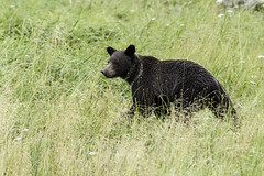 Grizzly cub (Alan Vernon.) Tags: brown bear coastal alaskan grizzly ursus arctos horribilis cub young immature nature wildlife wild mammal american bears omnivore predator shore alaska