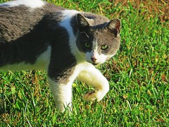 IMG_2048 (kennethkonica) Tags: nature canonpowershot summer july global random hoosiers marioncounty midwest america usa indiana indianapolis indy colors animaleyes animal outdoor c green grass animalplanet eyes grey walking stare