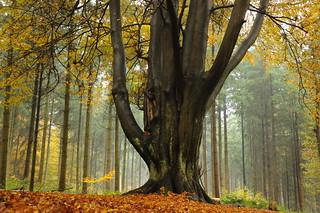 Die Buchenhand - Herbst im Baccumer Wald; Lingen (68)