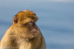 Gibraltar Monkey (Barbary Macaque) 3 (Zena Saunders) Tags: 2016 cruise november2016 october2016 gibraltarmonkey barbarymacaque gibraltar