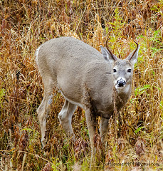 white-tailed deer (Pattys-photos) Tags: whitetailed deer pattypickett4748gmailcom
