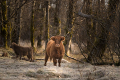 Moo (rishaisomphotography) Tags: cow heifer scottishhighland nature kodiak alaska freeroaming