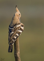 Common Hoopoe (nomane172) Tags: commonhoopoe hoopoe bird animal outdoor wildlife nature wildlifephotography naturephotography birdsofbangladesh dhaka bangladesh nikon nikond500 d500 tamron tamron150600mm 150600mm ngc