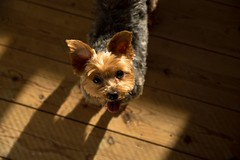 Just Try and Say No (Jamo_115) Tags: d3200 nikon sigma 1750mm dog doggie yorkie yorkshire terrier cute adorable fresh washed groomed ears eyes tounge pet