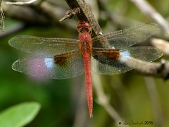 Coral-tailed cloudwing - male (LPJC) Tags: periyar india 2015 lpjc coraltailedcloudwing dragonfly kerala tholymistillarga