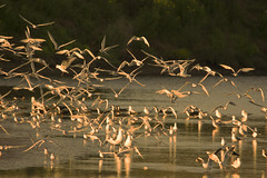Aves en la desembocadura del Aconcagua (Jorge A. Hernández) Tags: aves birds chile aconcagua río river costa coast sudamérica bandada agua vuelo atardecer