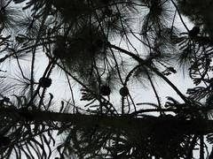 DSCN0331 (apacheizabel) Tags: lago pssaros rvores cu pinhas tronco espelho dgua queroquero rolinhas banco no bosque famlia de galinhas passeio parque centro aeroespacial da aeronutica cta so jos dos campos sp