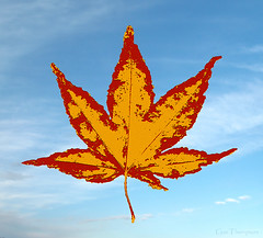 Maple Leaf (Gus Thompson) Tags: immigration refugee trump leaf stylized coldwar