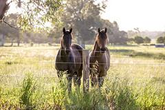 Farm life (Caramel Kisses Photography) Tags: horses farm adelaidehills adelaide paddock grass sunset sundown tree leaves barn southaustralia australia