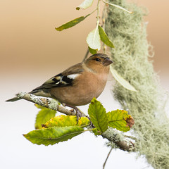 Chaffinch (Margaret S.S) Tags: male chaffinch european