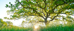 bright south (Sandra Bartocha) Tags: panorama sandrabartocha oak tree light spring brightness land sweden