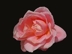 DSC00833 (gregnboutz) Tags: flower flowers bloomingflower bloomingflowers brightflowers colorfulflower colorfulflowers colorfulmacro colorfulmacros macro macros macroflower macroflowers macrorose macroroses colorfulrose colorfulroses pink pinkflower pinkflowers pinkrose pinkroses
