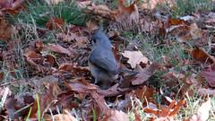 Tufted Titmouse (Baractus) Tags: tufted titmouse john oates city central park manhatten new york usa