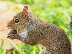 Gray Squirrel 20161204 (Kenneth Cole Schneider) Tags: florida miramar westbrowardwca