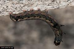 Peridroma saucia (Bruco - Caterpillar) (frillicca) Tags: 2012 bruco bug caterpillar falena farfallanotturna insect insetto larva lepidoptera lepidottero macro macrofotografia moth noctuidae nottuide october ottobre pearlyunderwing peridromasaucia pest roma variegatedcutworm insetti