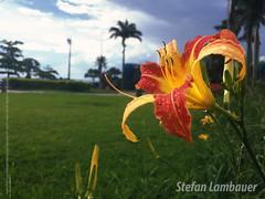 Praça Vereador Luiz La Scala, Santos (Stefan Lambauer) Tags: flor macro rain chuva jardim flower colors stefanlambauer 2016 brasil brazil santos br praçavereadorluizlascala square aquário orla