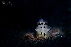 White Pikachu (Randi Ang) Tags: thecacera thecacerasp pikachu nudi nudibranch seaslug seraya secret tulamben bali indonesia underwater scuba diving dive photography macro randi ang canon eos 6d 100mm randiang