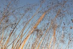 Achoo... bless you ! (Michele's POV) Tags: ticklish grasses sneeze skygazing sky blue sneezing blessyou achoo atishoo delicatenotes tracery closeup