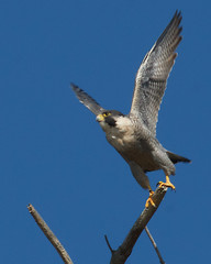 Peregrine Falcon (Tom Clifton) Tags: pointlobos birding