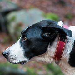 slimline profile (grahamrobb888) Tags: nikon nikond800 nikkor85mmf18 nikkor perthshire autumn homegarden birnamwood birnam bokeh zac dog pet profile