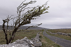 Isolated (Martin Third) Tags: europe ireland eire republicofireland irishrepublic clare countyclare burren theburren lane road track tree britishisles