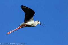 _MG_8533 LR flickr.jpg (Jean Louis BOUYER photographie) Tags: oiseaux échasse blanche échasseblanche
