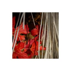 Leaves and cords (GP Camera) Tags: nikond7100 sigma1770contemporary leaves foglie cords corde autumn autunno vineyard vigneto light luce shadows ombre lightandshadows lucieombre lighteffects effettidiluce red rosso white bianco textures trame vignetting bokeh sfocato depthoffield profonditàdicampo darkbackground sfondoscuro softbackground sfondosoffice allaperto details dettagli abstract astratto squareformat formatoquadrato whiteframe cornicebianca italy italia piemonte monferrato darktable gimp opensource freesoftware softwarelibero digitalprocessing elaborazionedigitale