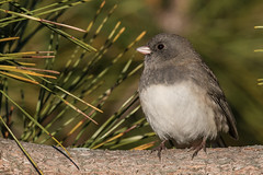 Slate-colored Junco (J.B. Churchill) Tags: birds maryland places scju slatecoloredjunco sparrowstowhees sunsetpark taxonomy worcester oceancity unitedstates us