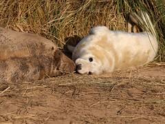 Cow & Pup, Grey Seals, Donna Nook (robin denton) Tags: seals seal pup greyseal animal nature lwt lincolnshirewildlifetrust wildlifetrust halichoerusgrypus wildlife donna donnanook