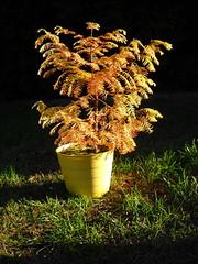 (Crickett-Grrrl) Tags: redwood dawnredwood autumn tiny baby tree