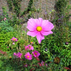 Cosmos (JulieK (finally moved to Wexford)) Tags: cosmos flower colcloughwalledgarden canonixus170 pink summer wall squareformat beautifulnature