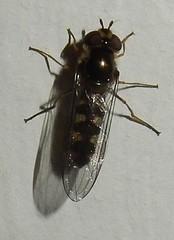 Looks like a hoverfly trying to hibernate in my bedroom (John Steedman) Tags: london uk unitedkingdom england   greatbritain grandebretagne grossbritannien       fly fliege mouche mosca diptera hoverfly