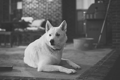 My girl giving me a pose (SFHPhotography) Tags: dog malamute great pyrenees malanees pyramute sweetie cute beauty sony a7rii 50mm metabones