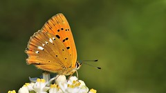 Lycaena virgaureae (KOMSIS) Tags: kelebek butterfly butterflies schmetterlinge papillon farfalle bbochka  mariposa mariposas dagfjrilar perhonen pivperhonen fjrilar firildi conbm motyl motl motlech animal arthropoda insecta lepidoptera lycaenidae lycaena virgaureae scarce copper ormanbakr animalia yellowishblackdots coppers green field serene landscape blossom plant texture pattern patterns minimalism macro nature wildlife outdoor ngc visipix buzznbugz nikon nikondigital nikkor 105mm vr tc14e nikond300 catchy catchycolors colors colorful beautiful bright brilliant wow lighting flower sommerfugler summertime insect meadow