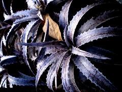 Bromlias nativas do Cerrado (a savana brasileira).  Bromeliads native to the cerrado (the Brazilian savannah) (leovigildo Santos) Tags: bromlias bromeliaceae native bromeliad flora flower tropical savannah gois brasil brazil cerrado rupestrian rock natural nature naturaleza natureza