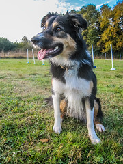 Lisca playing ... (K r y s) Tags: vacances autumn extrieurs nature attentive outdoor bretagne ready extrieur bordercollie jeu dog outdoors holidays 2016 automne alert gaming lisca