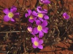 5117e2  P900 Outback blooms (jjjj56cp) Tags: flowers blossoms blooms buds desert desertbloom desertflower superbloom outback spring october cluster purple center sands northernterritory p900 au australia jennypansing