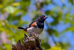 Eastern Towhee (av8s) Tags: easterntowhee towhee songbirds perchingbirds birds wildlife nature photography nikon d7100 sigma 120400mm nescopeckstatepark pennsylvania pa