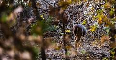 White Tail (JDaniel5SP) Tags: ifttt 500px deer nature wildlife morning wichita mountain refuge wilderness